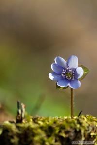 Leberblume ganz allein