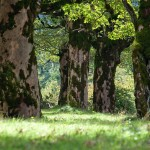 Ahronbäume 1