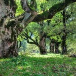 Ahronbäume 2