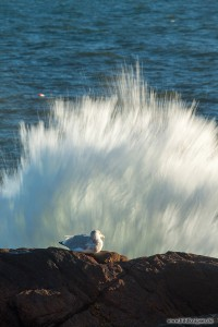 Möwe vor Welle