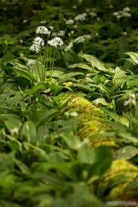 blühende Bärlauchpflanze am Waldboden
