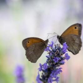 Bild der Woche: Schmetterlingspaar