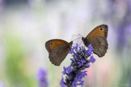 Schmetterlinge auf blühendem Lavendel