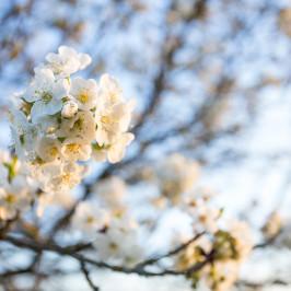 Gölitzer Kirschblüte