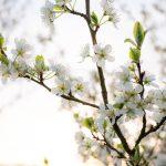 weise Blüten