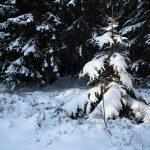 ein kleiner verschneiter Baum vor einigen dunklen größren Bäumen