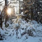 zwei junge verschneite Bäume werden von der Sonne angestrahlt