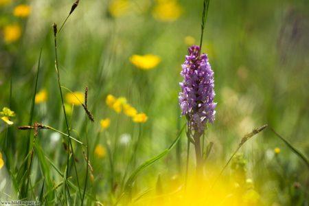 lila Orchidee auf einer Weise mit gelben Blüten