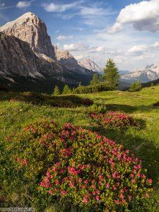 Alpenrosen vor Tofane